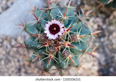 Blooming cactus - tropical exotic plant