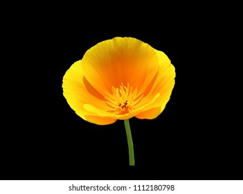 Blooming California poppies (Eschscholzia californica) isolated on black background