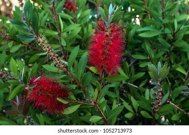 blooming callistemon on Sardinia