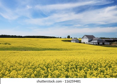 Blooming canola field and farm buildings against blue sky in summer, Ontario, Canada