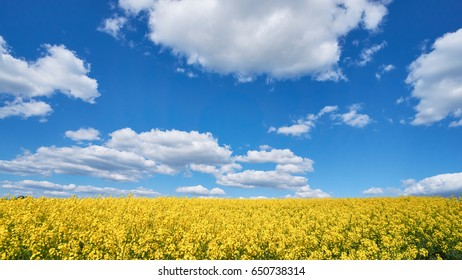Blooming canola field under blue sky and clouds.