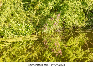 Blooming Cat's Tail, Lythrum salicaria, on the banks of the watercourse in the Kromme Aar Nature Reserve in Alphen aan den Rijn with a beautiful beautiful one-on-one reflection in the water surface