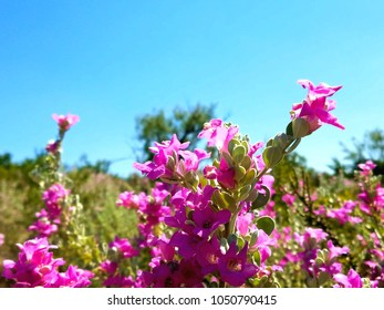 blooming Ceniza, texas sage bushes.