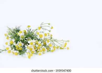 Blooming chamomile flower isolated on white background.