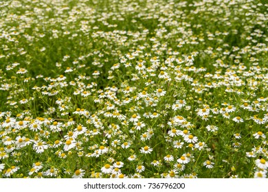 Blooming chamomile on the field - selective focus, copy space