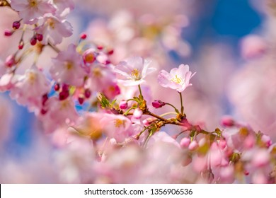Blooming cheery blossom floral background, fresh natural colorful background, flower tree. Beautiful blooming flowers and spring bokeh light background. Seasonal nature concept