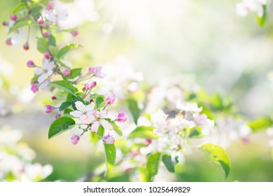 Blooming cherry blossom. Beautiful sunny garden with cherry and apple trees. Spring flowers in bloom. Fruit orchard with white and pink flower branches. Nature beauty.