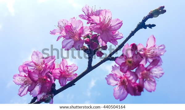 Blooming cherry blossom branches