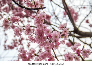Blooming cherry blossom flowers in spring and blurred background