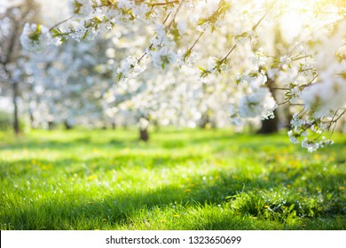 Blooming cherry blossom tree garden in spring. White flowers on branches in fruit orchard with cherry and apple trees. Beautiful nature. Flower season. Background with copy space.