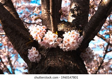 Blooming Cherry Blossoms on Tree
