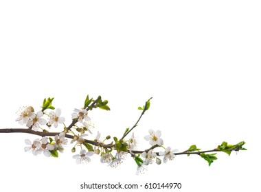 Blooming cherry branch isolated on white background