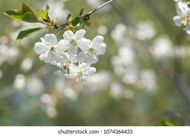 blooming cherry. close-up. Beautiful bokeh