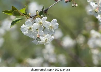 blooming cherry. closeup. Beautiful bokeh
