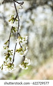Blooming cherry, flowers on a tree with shallow depth of field.