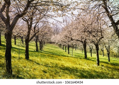 Blooming cherry orchard. Spring mood in the orchard. Blooming cherries and apple trees. Pink and fresh green