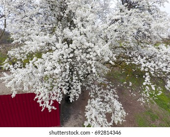 Blooming cherry plum. White flowers of plum trees on the branches of a tree. Spring garden