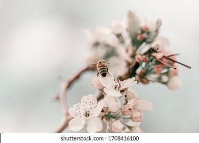 Blooming cherry sakura trees pink and white. Cherry blossoms. Denver city views during Spring time. Spring season. Beautiful bloom trees in park. Historical views. Pink and white petals on cherry tree - Shutterstock ID 1708416100