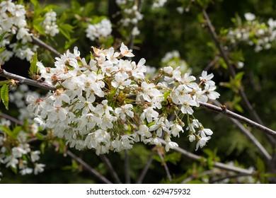 Blooming cherry tree in Bainbridge, Seattle, Washington, USA