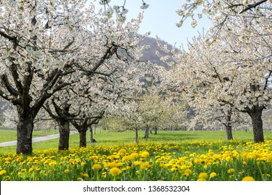 Blooming cherry tree rows in white flower blossom with dandelion meadow in orchard