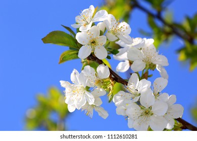 blooming cherry tree twig  in spring day