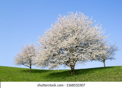 Blooming cherry tree with white flower blossom in spring season on a hill against blue, sunny sky