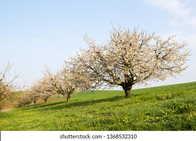 Blooming cherry tree with white flower blossom, in the morning soft sunshine, spring season in fruit orchards in agricultural regions