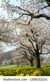 Blooming cherry tree with white flower blossom, spring season in fruit orchards in agricultural region olsberg, Baselland, Switzerland