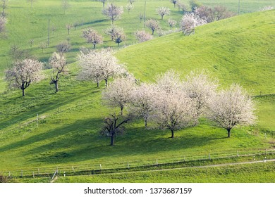 Blooming cherry tree with white flower blossom, spring season in fruit orchards in agricultural regions