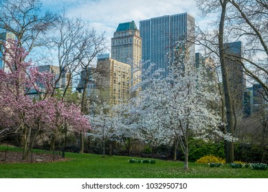 Blooming cherry trees and buildings in Central Park, New York City