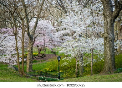 Blooming cherry trees in Central Park, New York City