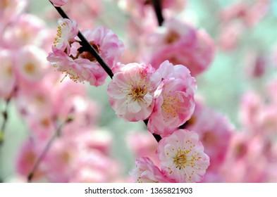 Blooming cherry trees near Dalian, China.