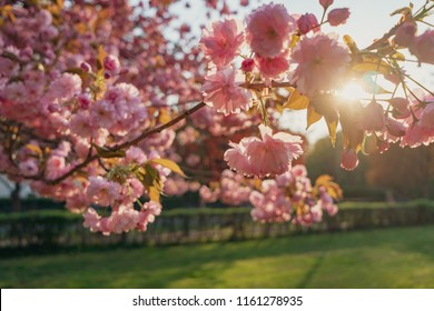 Blooming cherry trees with pink petals in sunset sunlight, Buergerpark Pankow in Berlin, Germany