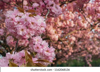 Blooming cherry trees with pink petals in the Buergerpark Pankow in Berlin, Germany