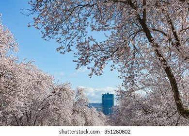 Blooming Cherry Trees in Spring Time