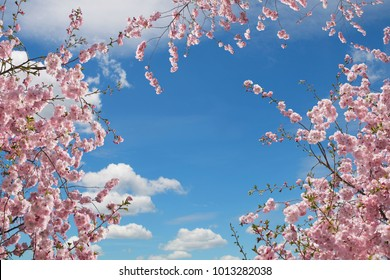 blooming cherry trees at springtime, view from bottom up to sky. with copy space in the middle