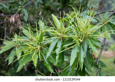 Blooming Chestnut (Castanea sativa) tree in Southern France
