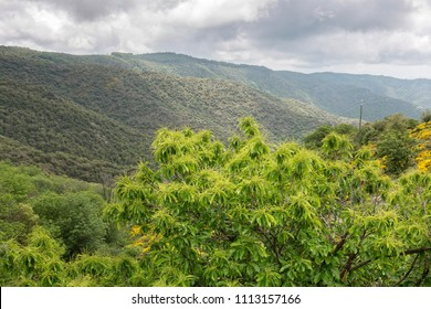 Blooming Chestnut (Castanea sativa) tree in the Ardeche mountains, France