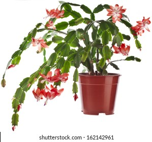 Blooming Christmas Cactus (Schlumbergera species) in flowerpot   isolated on white background