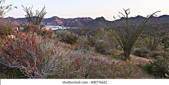 Blooming Chuparosa in Sonoran Desert, near Phoenix.