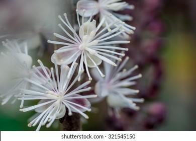 Blooming cimicifuga