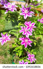 Blooming Clematis - Doctor Ruppel. Pink and white flower in garden