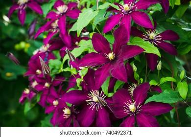 "Blooming clematis ""Niobe"" in the garden. Shallow depth of field."