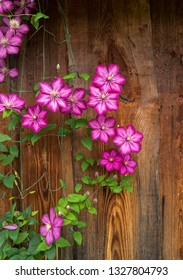 Blooming clematis on the background of a wooden wall. Clematis varieties Ville de Lyon.