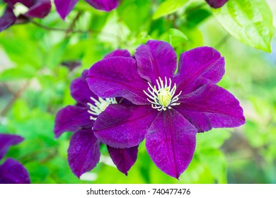 """Blooming clematis """"Space melody"""" in the garden. Shallow depth of field."""