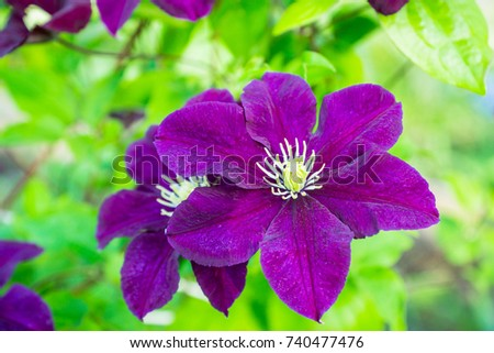 Blooming Clematis Space Melody Garden Shallow Stock Photo