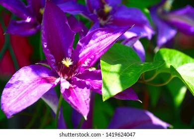 Blooming clematis in the summer garden.Clematis Piilu