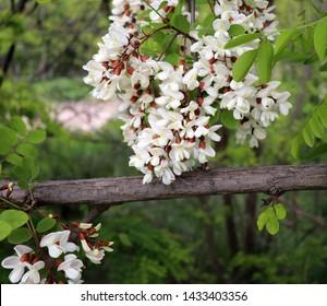 Blooming clusters of acacia. Honey spring plant. Collect nectar. Branches of black locust, Robinia pseudoacacia, false acacia. Close up, macro.