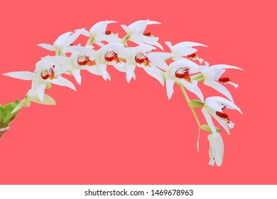 Blooming Coelogyne asperata Orchid Flowers on Colorful Bright Pink Background