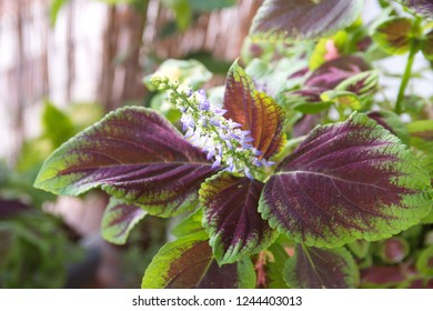 "Blooming coleus plant ""Giant Exhi­bition Magma"" with violet - white flowers,  bicolor purple - green foliage, Plectranthus scutellarioides, Solenostemon scutellarioides"